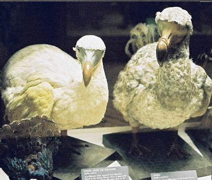 Wikipedia: Sarah Hartwell: Mauritius Dodo, Rothschild Zoological Museum, Tring.