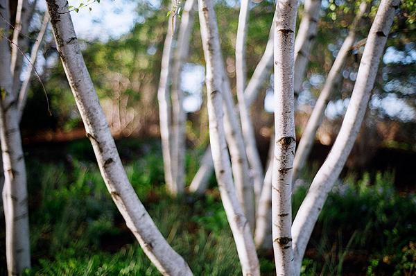 birch wikipedia