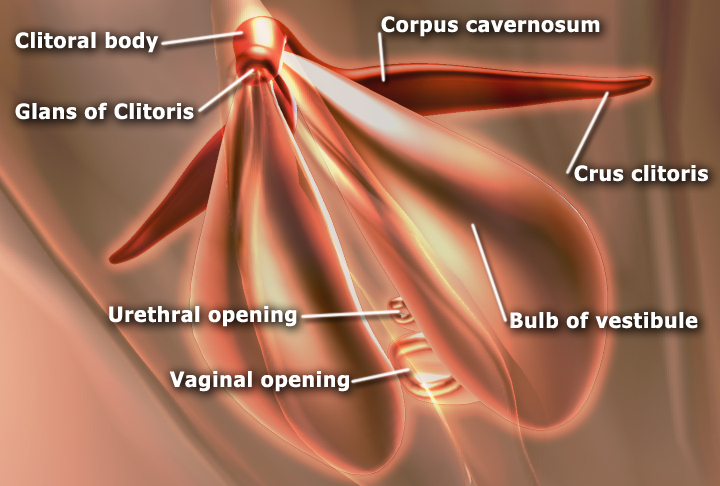 Clitoris anatomy labeled