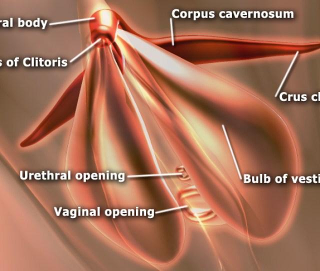Shows The Sub Areas Of The Clitoris Areas Include Clitoral Glans Body Crura Also Shows Vestibular Bulbs And Corpus Cavernosa