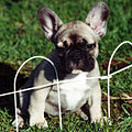 Black Masked Fawn French Bulldog