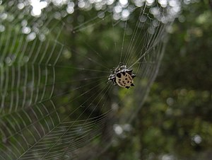 Spider at Web