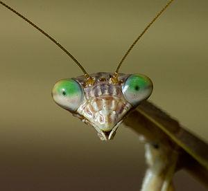 Face of Praying Mantis