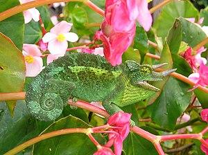 Jackson's Chameleon 2