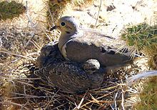California High Desert Mourning Dove and Squabs Nesting in Protected Cactus Palace.