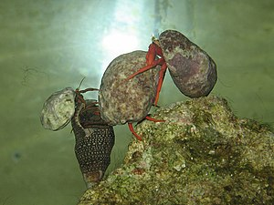 Four hermit crabs in an aquarium