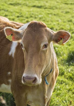 A Guernsey Cow