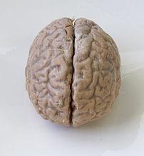 An intact human brain.