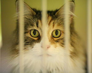 A cat at the Seattle Animal Shelter