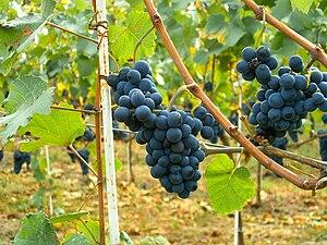 Pinot Noir grapes in Moldova.