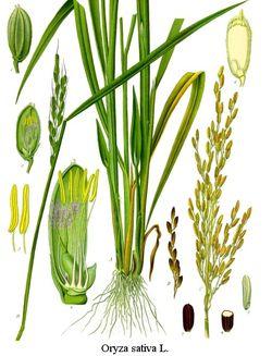 Jenis Rumput Rumputan : jenis, rumput, rumputan, Poaceae, Wikipedia, Bahasa, Indonesia,, Ensiklopedia, Bebas
