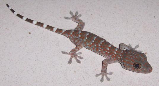 BerkasG gecko 060517 6167 trij ed resizejpg  Wikipedia