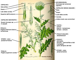 Echinops botanica  Wikipedia