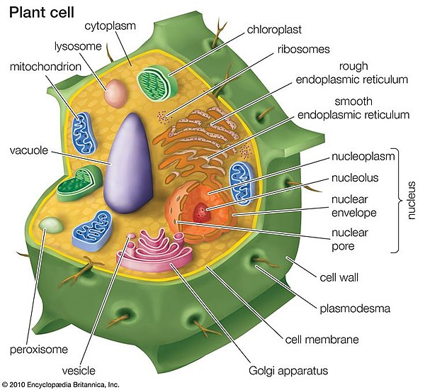 endoplasmic reticulum animal cell diagram 2002 pontiac montana stereo wiring user atcovi science and plant cells wikiversity a of