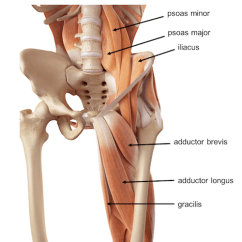 Front Leg Ligament Diagram Trailer Brake Controller Wiring 7 Way Pelvis Hip Anatomy Muscles Of The