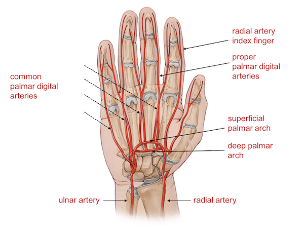 hand nerves diagram parts of a pirate ship wrist anatomy arteries the and hands