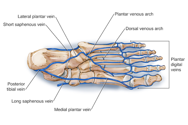 veins in the foot diagram vivo gene therapy ankle anatomy plantar pump