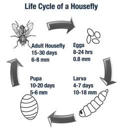a housefly s life expectancy varies based upon temperature and living conditions  [ 984 x 1048 Pixel ]