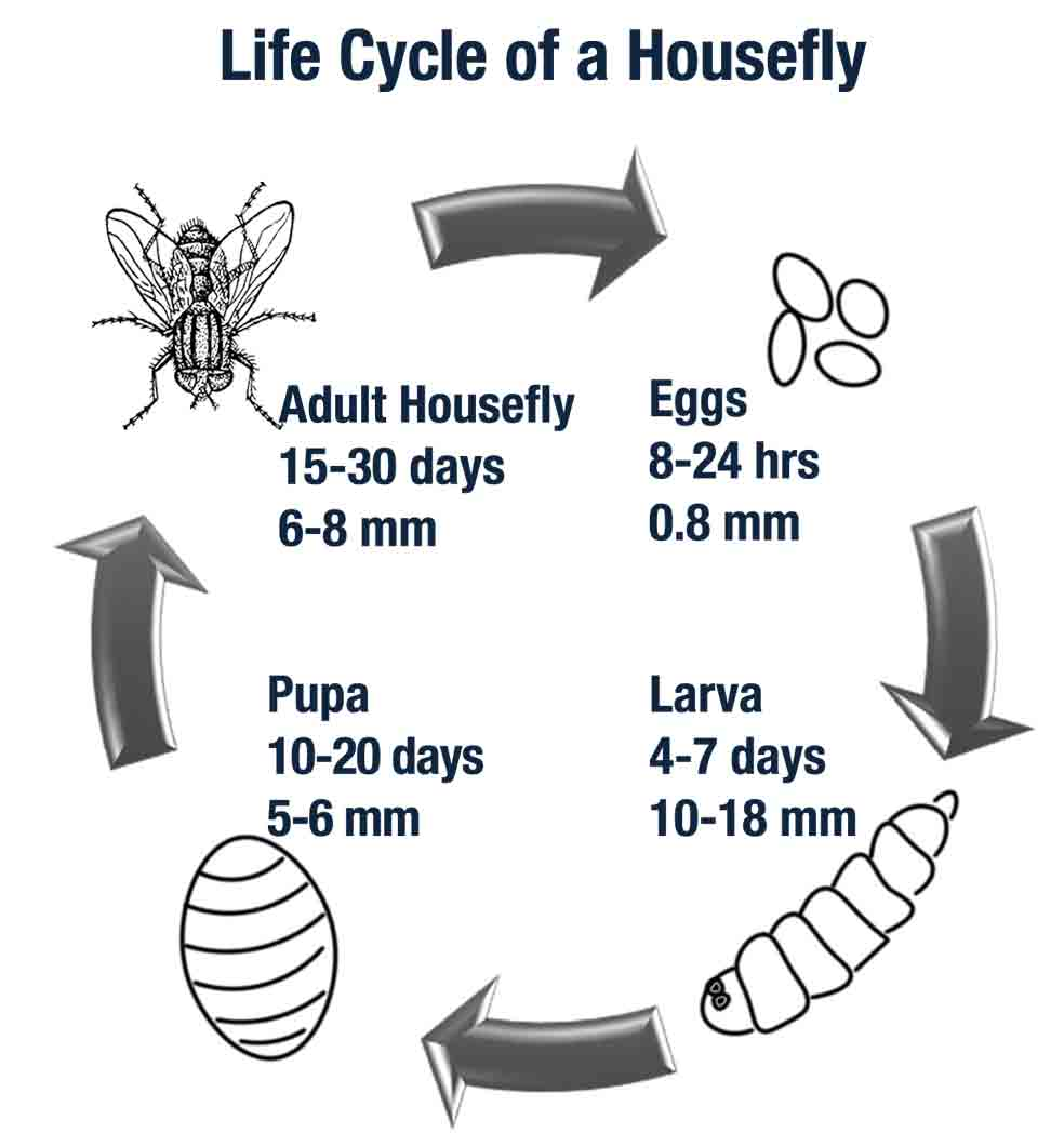 medium resolution of a housefly s life expectancy varies based upon temperature and living conditions