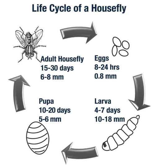 small resolution of a housefly s life expectancy varies based upon temperature and living conditions