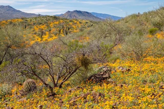 Peridot Mesa Wildflowers. Image by Dan Sorensen Photography