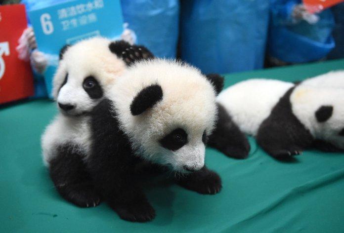 localhost_2015candelaestereo1_images_panda 6