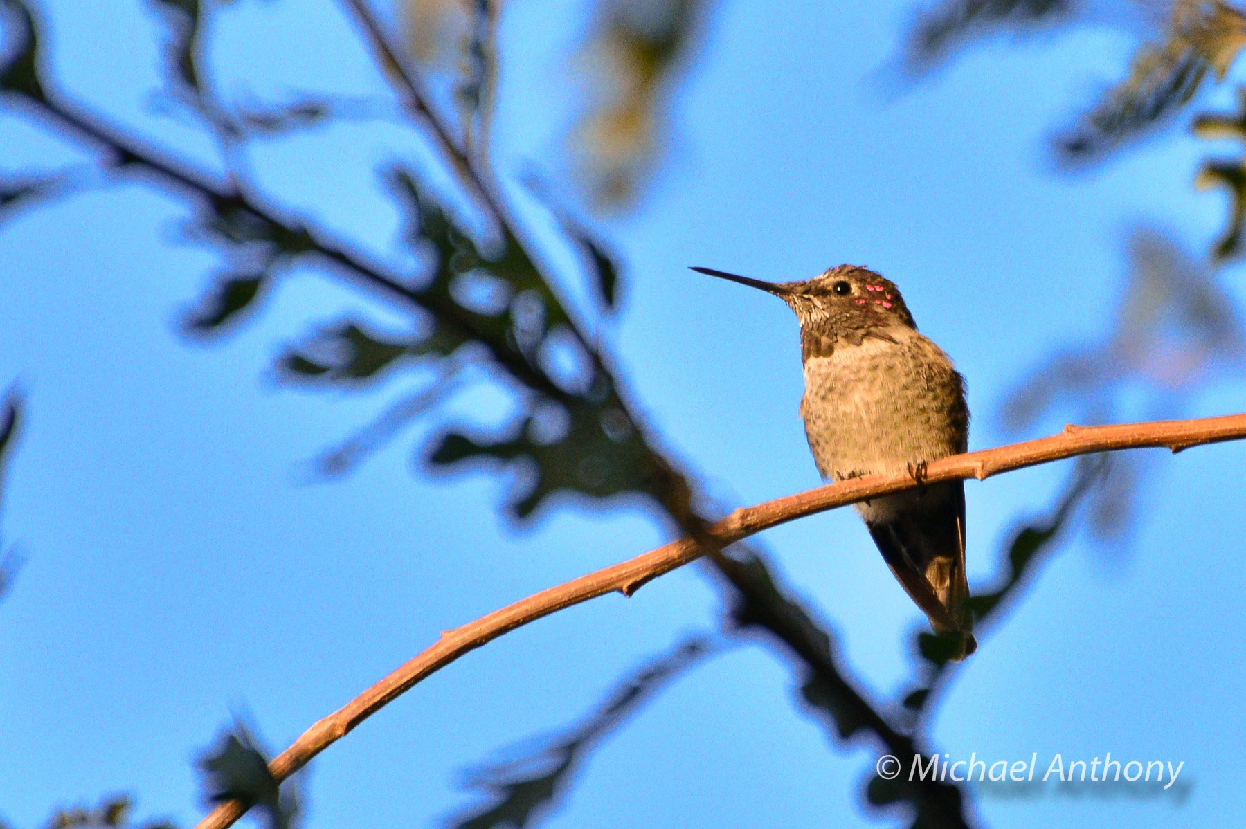 hummingbird diagram of color 1985 honda spree wiring how to photograph hummingbirds