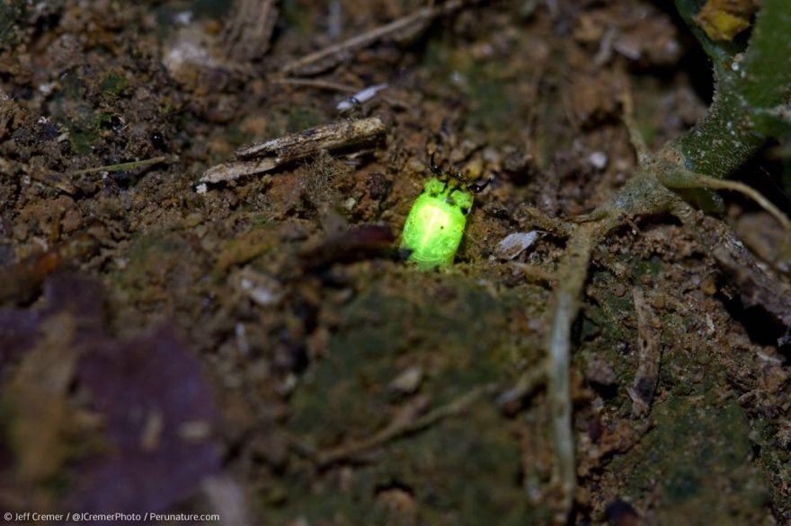 Predatory Glow Worms Found In Peruvian Amazon Neatorama