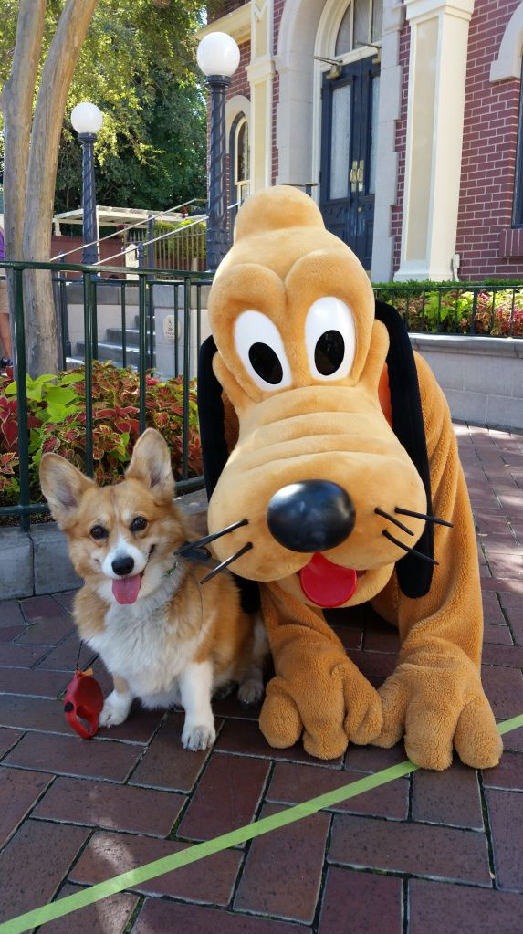 A Corgi At Disneyland Neatorama