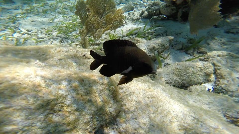 Black fish at Hol Chan Marine Reserve