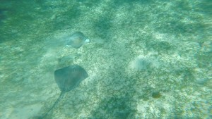 Two Southern sting ray at Shark and Ray Alley