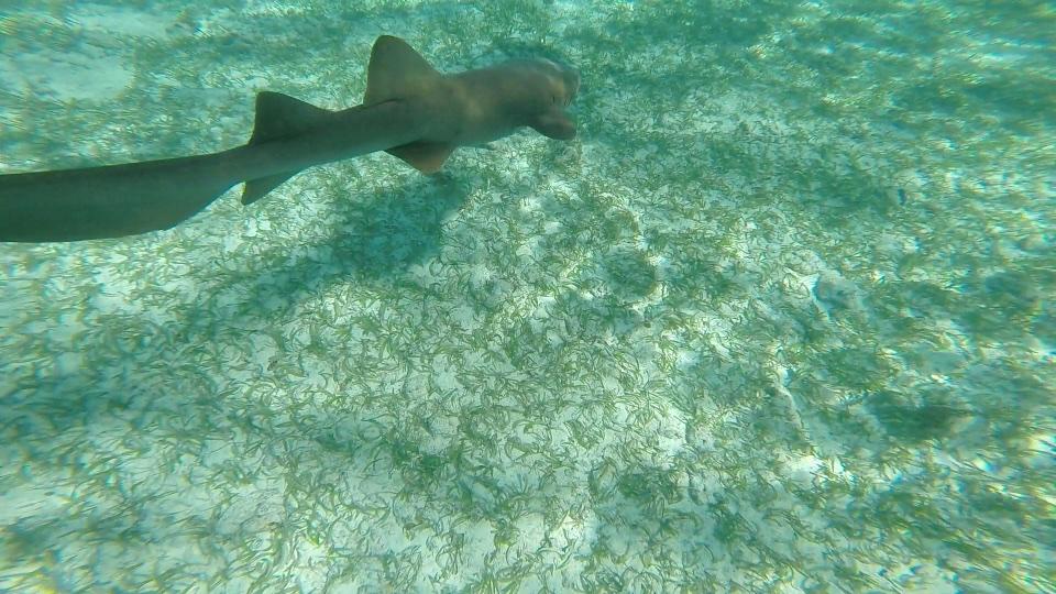 Shark at shark and Ray Alley