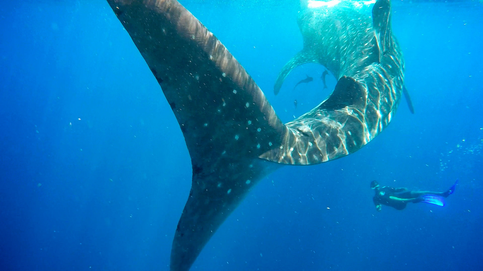 Diver swimming with whale shark