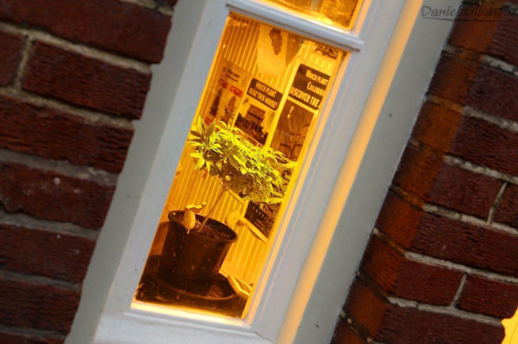 Cannabis plant in window