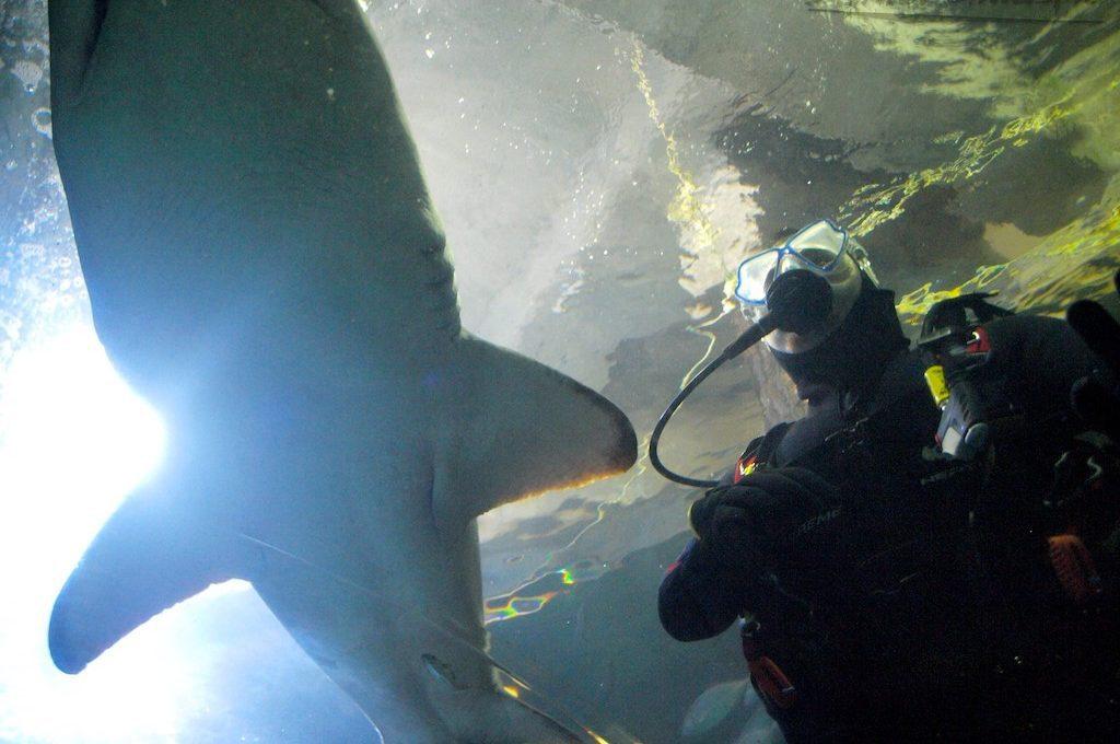 Scuba diver with nurse shark at Manly Sea Life Sanctuary