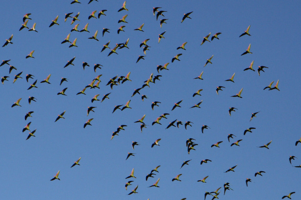 Parrot swarm