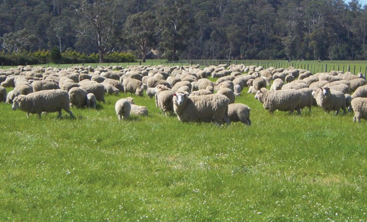Award Perennial Ryegrass in paddock with sheep