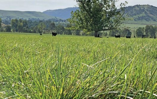 Pastoral Summer Active Fescue in paddock