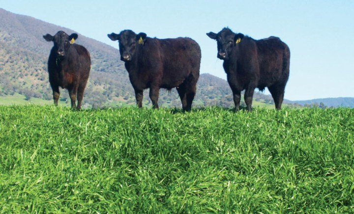Blast Annual Ryegrass in paddock with cows