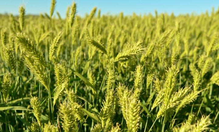 Harpoon Forage Barley up close