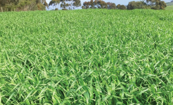 Victory Forage Oats in Paddock