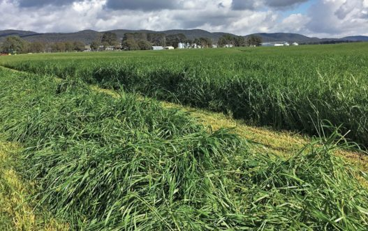 Pasture Blends - thick grass in large paddock