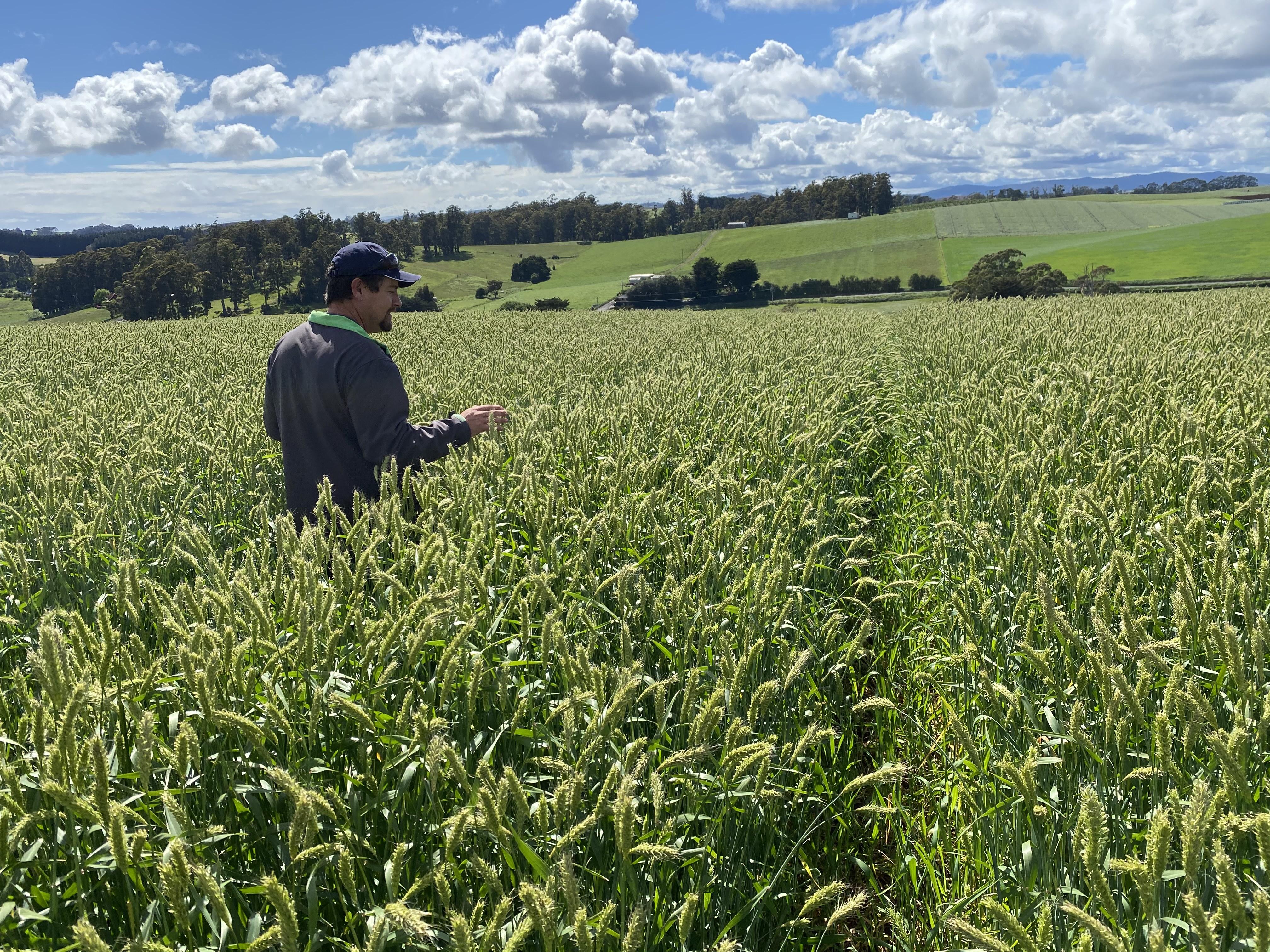 Paddock of harpoon barley in tasmania