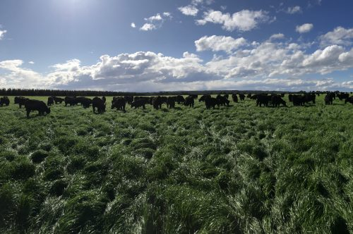 Awesome Ryegrass paddock with angus cattle