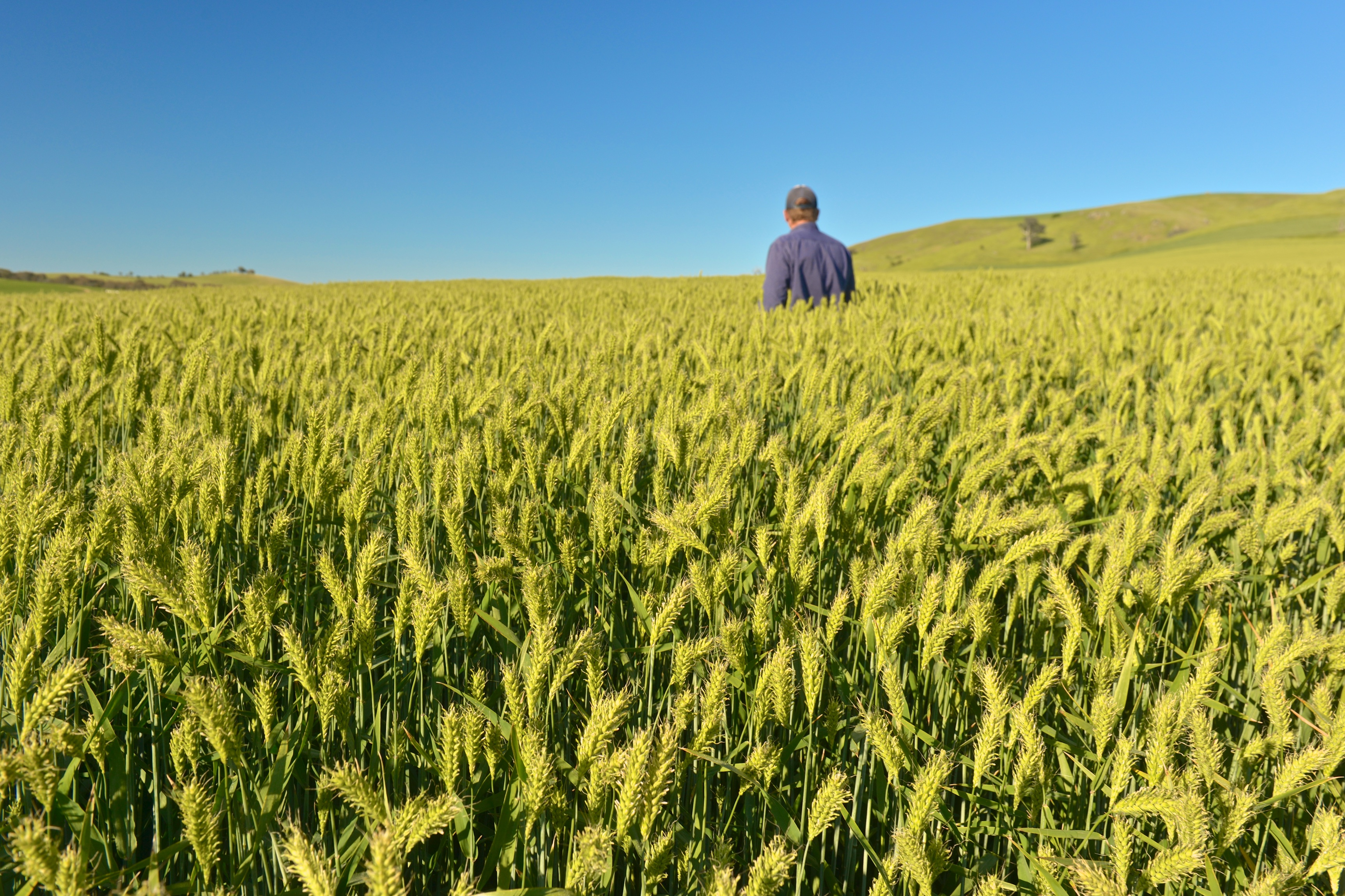 Man standing in paddock of barley crop