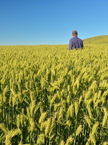 Man standing in paddock of barley crop