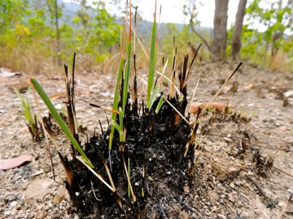 The forest regrowing after a recent fire