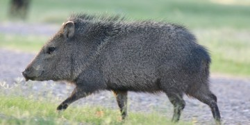 Javelina Running Is The Internets New Favorite Music Meme