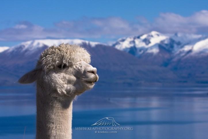 Alpaca-in-New-Zealand