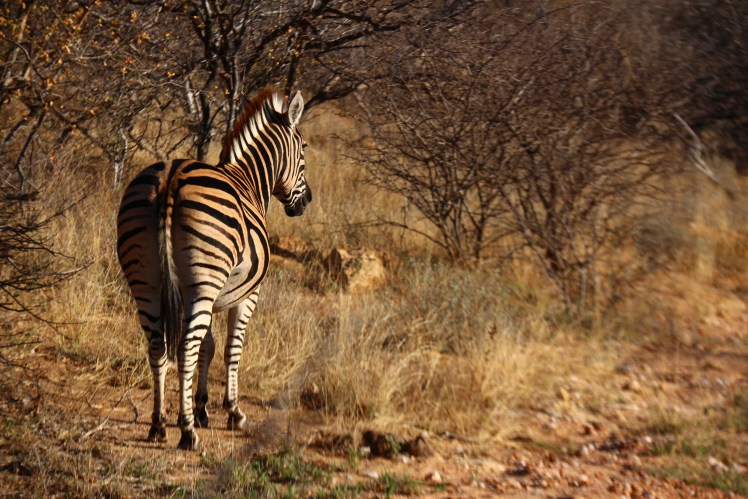 Zebra in the wild, Balule Reserve in Greater Kruger Park, South Africa